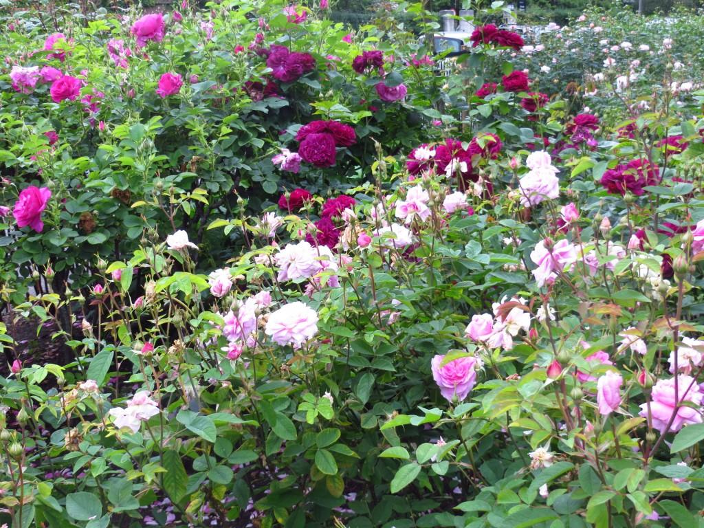 róże ann